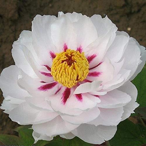 FERRY Bio-Saatgut Nicht nur Pflanzen: Peony Yue Gong Zhu Guang 100 Seeds Jahre alt ~ reseed