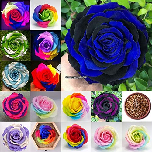 Portal Cool 10 Canna Lilly Graine de fleur d'oranger Jardin Superbe frais Canna Indica Tropicad580
