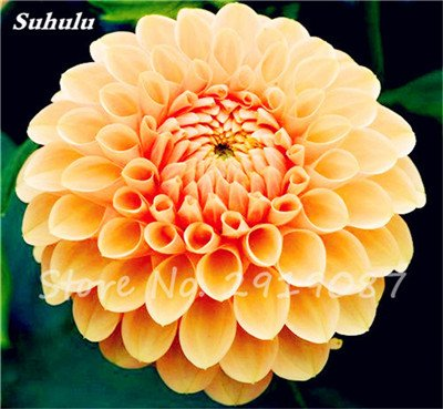 50 Pcs rares Graines Bonsai Dahlia (non Dahlia Bulbes) mixte en chinois magnifique Fleurs Balcon Plante en pot Maison et jardin 19