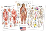 Human Body Anatomy Laminated 3 Poster Set Includes Skeletal System Muscular System and Organs of the Human Body Medical Charts Nursing Medical Student Gifts 13'x19' Professional