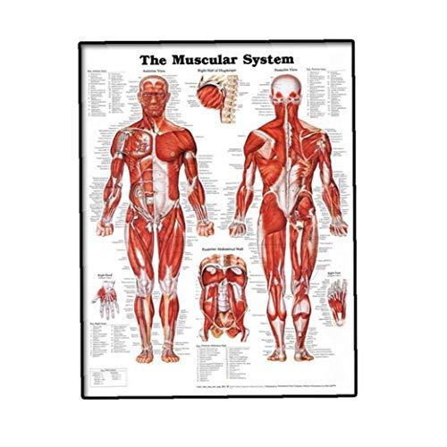 linjunddd Muskelsystem Wall Chart Naturgetreue Anatomische Plakat Lernen Muskel-anatomie-Diagramm Schöne Feiertags-Geschenk