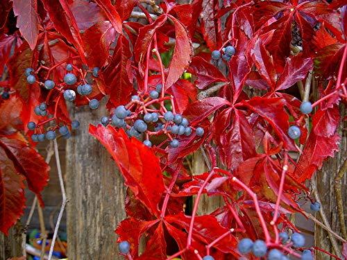 SmartMe Virginia Creeper, Parthenocissus quinquefolia, 20 Vine ct (Fall Color, Hardy)