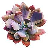 Graptoveria Debbie Succulent (2 inch)