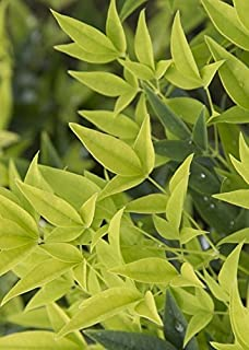 2.5 Quart - 'Lemon Lime' Nandina - Dwarf Evergreen Shrub With Feather Lime-Green Foliage