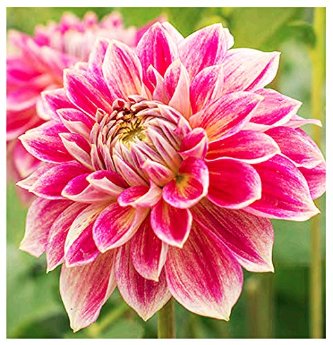 Temple of Beauty Dahlia - 5 Gallon Size Bare Root Tuber