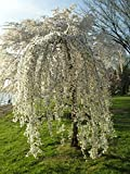 Beautiful Flowering Cherry Tree (ASF) Healthy Live Plant (Weeping Cherry)