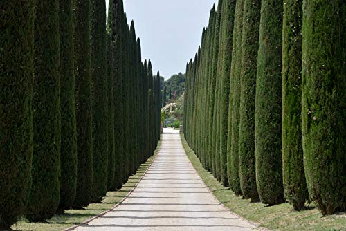 Mittelmeer-Zypresse 80-100 cm Cupressus sempervirens Säulen-Zypresse Echte Zypresse