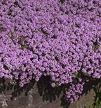 UtopiaSeeds Creeping Thyme Seeds - Beautiful Ground Cover - Approximately 8,000 Seeds