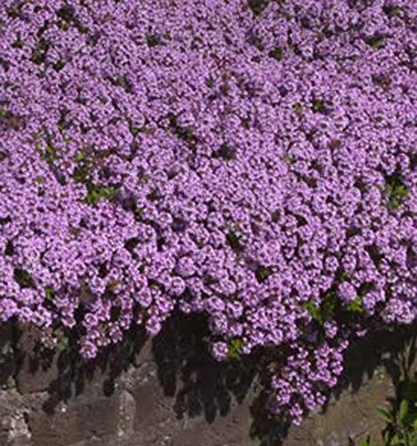 UtopiaSeeds Creeping Thyme Seeds - Beautiful Ground Cover - Approximately 8,000...