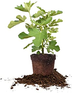 Perfect Plants Chicago Hardy Fig Tree Live Plant, 1 Gallon, Includes Care Guide