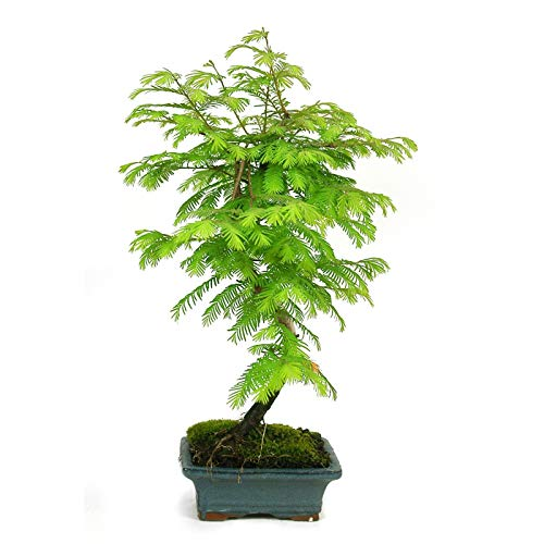 Bonsái 9 Años Metasequoia sp. Árbol Natural Bonsái Interior y Exterior