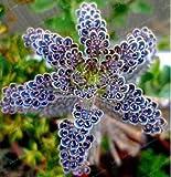 25 Rare Dark Blue Kalanchoe Seeds Succulent Flower Home Exotic Plant Garden