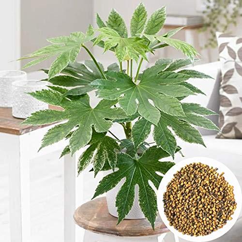 Blumensamen Pflanzensamen 50Pcs/Bag Fatsia Japonica Samen natürliche gute Ernte leichte Bonsai Garten Pflanzen Samen für Zuhause - Samen Stern Anis Samen