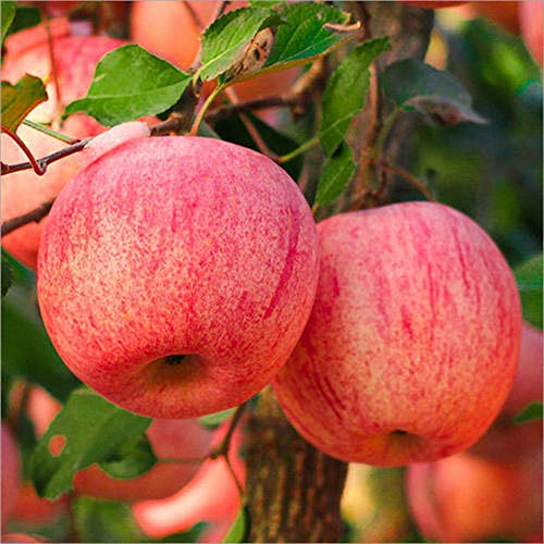 100pcs Apple Seeds for Outdoor Planting Perennial Deciduous Tree Planted Throughout The Year to Adapt to Various Climates Harvest Every Year
