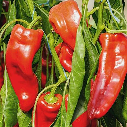 Samen für ca. 15 Pflanzen Mercedes Paprika – mittelfrüher Spitzpaprika