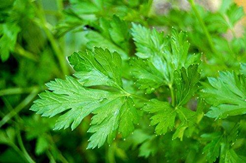 Lot de 50 Graines - Persil Commun - Plante Aromatique