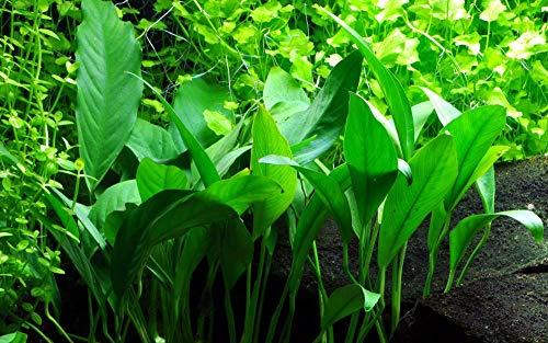 Tropica Aquarium Pflanze Anubias barteri angustifolia Nr.101C Wasserpflanzen Aquarium Aquariumpflanzen