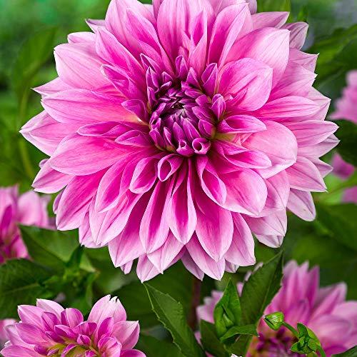 3x Dahlia dinnerplate LAVENDER PERFECTION   Bulbi di dalie a fiore grande   Fiori rosa-viola   Piante a fioritura estiva
