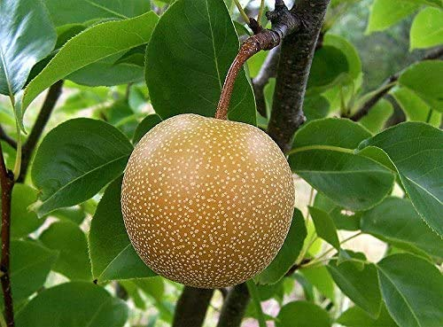 100pcs CHINOIS gaint RARE ORANGE graines PEAR plante douce nourriture saine graines de plantes fruitières en plein air graines de bonsaï