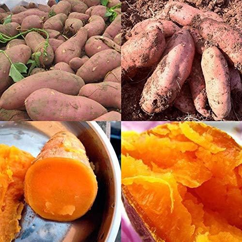 Catkoo 200 Piezas De Semillas De Patata Dulce Bonsai Garden Planta De Granja De Vegetales Y Frutas Deliciosas, Rica En Vitamina C, Semilla De Producción Original EE. UU. Semillas de Batata