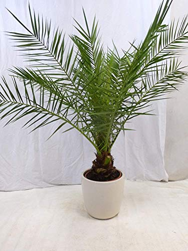 [Palmenlager] - Phoenix canariensis - kanarische Dattelpalme - 160/180 cm // Indoor & Outdoor Palme