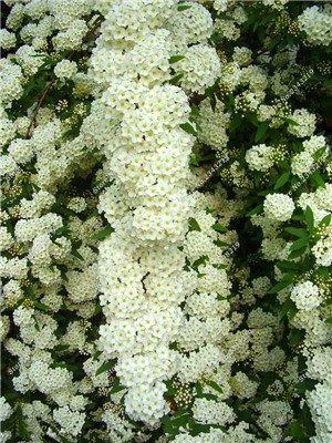 50 Pcs/Sac Inde Spiraea Japonica Graine jardin Escalade plantes ornementales blanc et rose Fleur Graine Easy Grow Bonsai 3