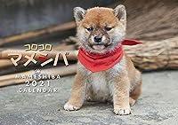 2021 カレンダー コロコロ マメシバ 豆柴 最新版 丑年
