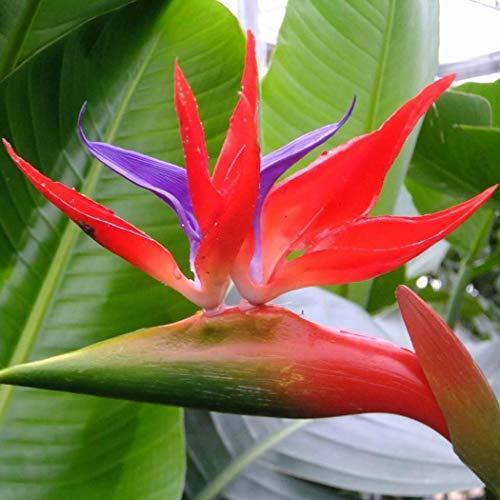 Keland Garten - Südafrika echte Paradiesvogelblume Samen, Strelitzie Strelitzia reginae Lange Blütezeit, Ideal als Zimmerpflanze