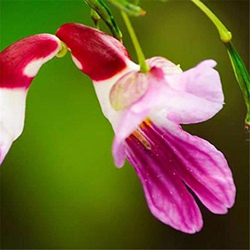 Generic Générique Parrot Fleur Graines Rare Coloré Fleur Plante En Pot Jardin Bonsaï-50Pcs / Pack