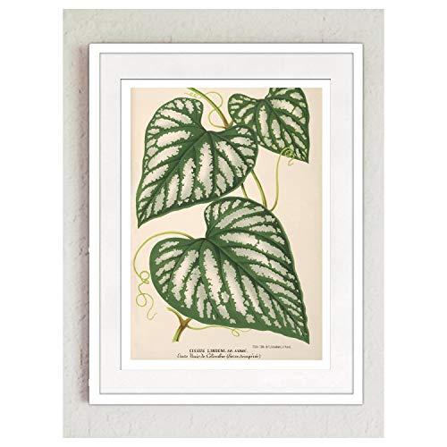 Print Wandbild Poster Bild Pflanze Cissus antik Vintage OHNE RAHMEN Format A4
