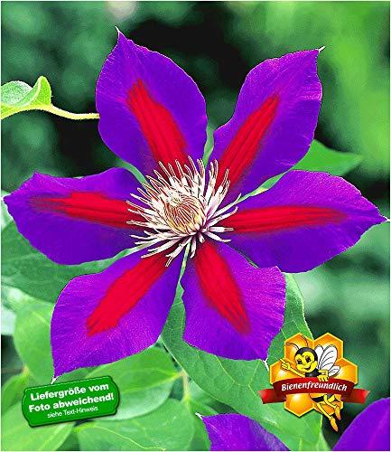 BALDUR-Garten Waldrebe Clematis 'Etoile de Malicorne' winterhart, 1 Pflanze Klematis mehrjährige blühende Kletterpflanzen