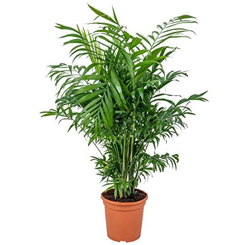 Chamaedorea 'Elegans' | Mexikanische Zwergpalme pro Stück - Zimmerpflanze im Aufzuchttopf cm15 cm - ↕60-70 cm