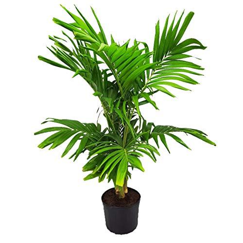 """阿多尼亚圣诞棕榈树 - 活植物 - 佛罗里达 -  7加仑 - 整体高度62""""到70"""