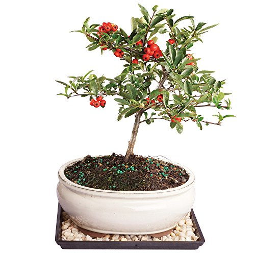 Brussel's Live Dwarf Pyracantha Outdoor Bonsai Tree - 5 Years Old; 8' to 12' Tall with Decorative Container, Humidity Tray & Deco Rock