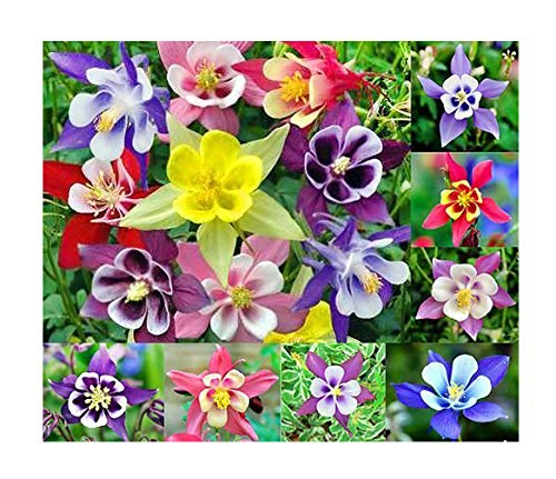 McKana Giant Hybrid Columbine Seeds - A Favorite Perennial Wildflower