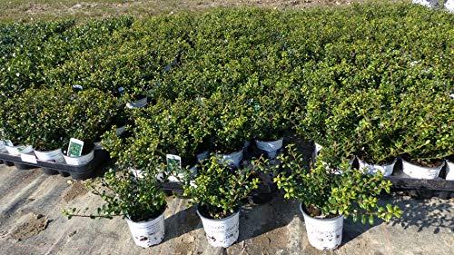 100 Stück Ilex crenata Stokes Heckenpflanze 20 cm Buchsbaum Ersatz winterhart + robust