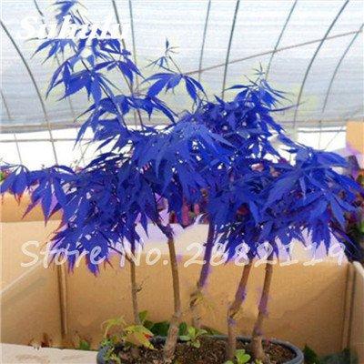 Rare bleu japonais samares 30 Pcs Bonsaï Plantes de costume Pot pour plantes Jardin Bricolage & Balcon Absorber Formaldéhyde 6
