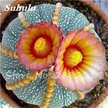 Best-vendita di 120 pezzi misti Succulente giapponesi Semi rari Indoor semi di fiori Mini Cactus carnose pianta poligonale semi di fiore 8
