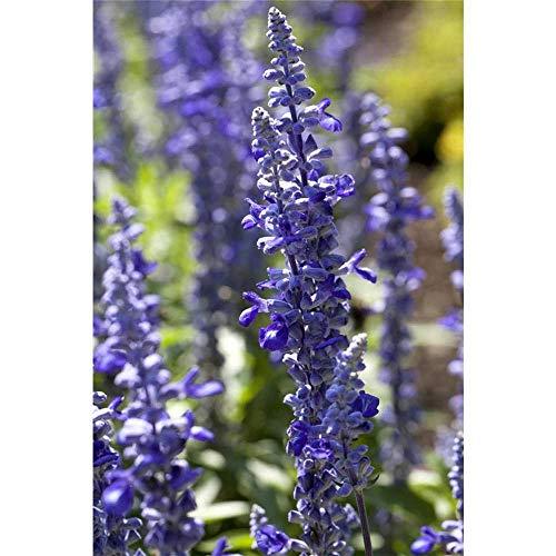 Ziersalbei, blau, Salvia farinacea,...