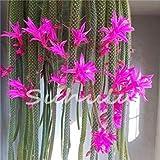 potseed 200pcs fiori in vaso semi epiphyllum balcone impianto per il garden & home four seasons piantare facile da coltivare 12