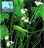 WFW wasserflora Breitblättriges Pfeilkraut/Sagittaria latifolia im...