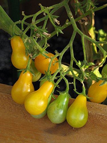 Gelbe Cocktailtomate \'Yellow Pear\' (Solanum lycopersicum) Bio 10 Samen