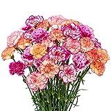 FlowerPrime 50 Bicolor Carnations - Fresh Natural Cut Flowers