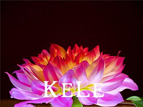 30 graines Dahlia - Pompon ~ beaux jardins, magnifique fleur, 24 couleurs graines mixtes, jardin, # A5VO56