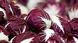 Radicchio (Chicory) Seeds-...image