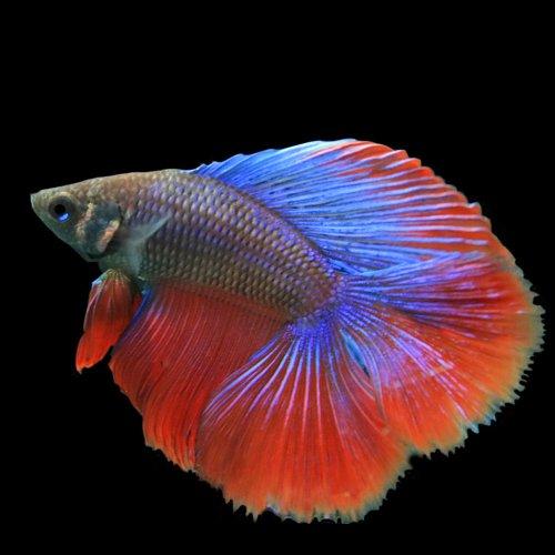 (熱帯魚)ベタ ダブルテール オス (色おまかせ)(約5cm)<1匹>[生体]