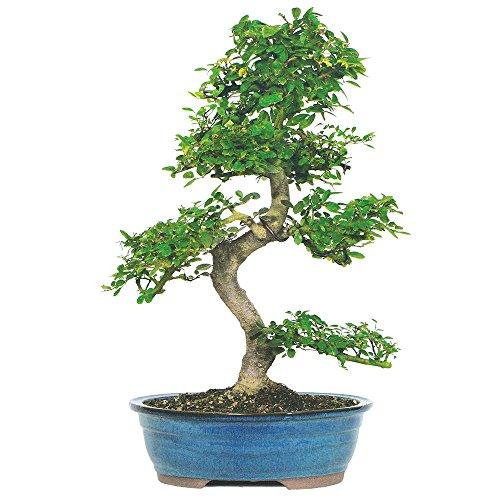 Brussel's Live Chinese Elm Outdoor Bonsai Tree - 15 Years Old; 14' to 18' Tall with Decorative Container