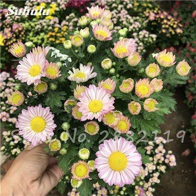 120 pcs graines graines de fleurs Daisy strawberry marguerite, fleurs de saison graines chrysanthème, Bonasi beau balcon fleuri coloré 5