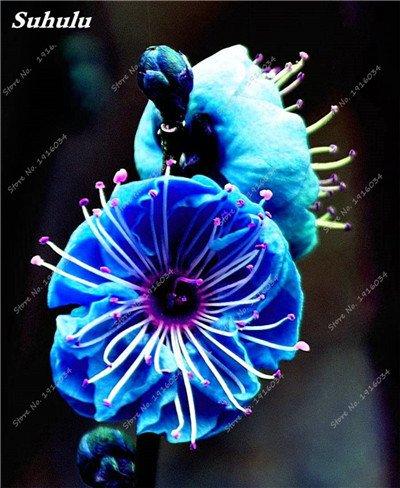 5 pièces rares Couleur vivaces Wintersweet graines, fleurs de pruniers, Blanc Jaune Rose Rouge Calyx Canthus Fleur Graine-Terre Miracle 5