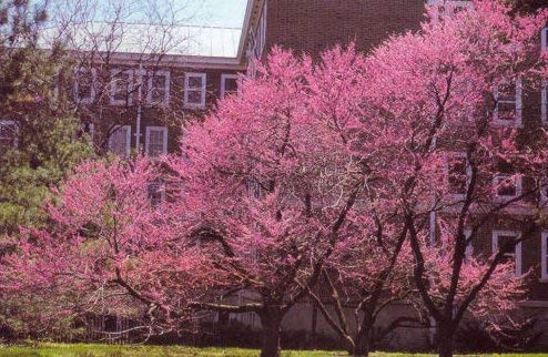 Frais Eastern Tree Redbud 20 graines (Cercis canadensis) ornement Showy